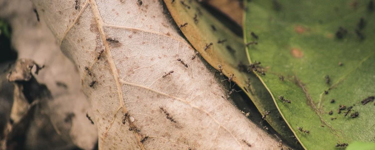 evitar plagas de hormigas