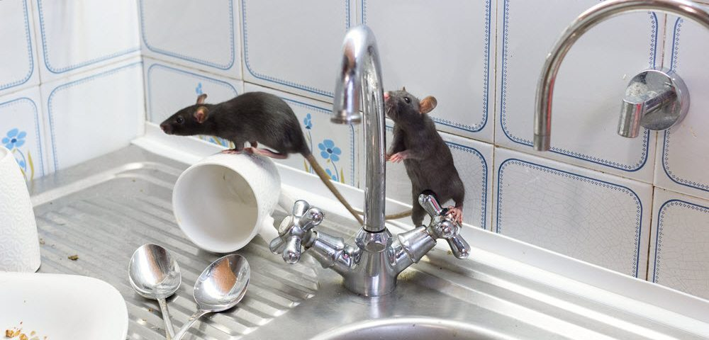 plaga ratones